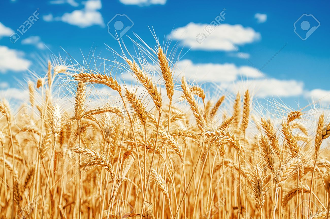 15616356-Gold-wheat-field-and-blue-sky-Stock-Photo
