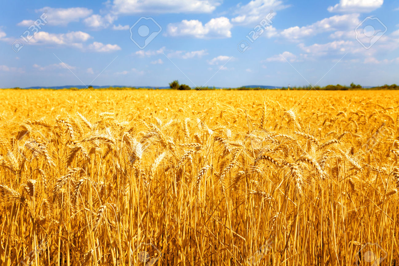 44297062-Fields-of-ripe-yellow-wheat-ready-for-harvest--Stock-Photo-wheat-agriculture
